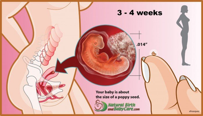 3-4-weeks-fetus_5-6-week-pregnancy