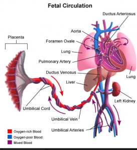 Fetal Circulation Diagram